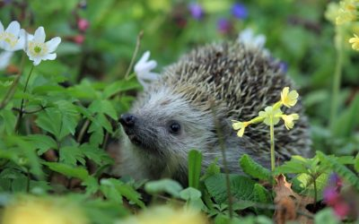 Episode 32 – Being sick with a hedgehog